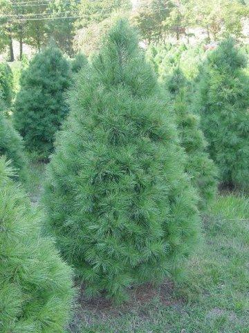 White Pine Description And Image